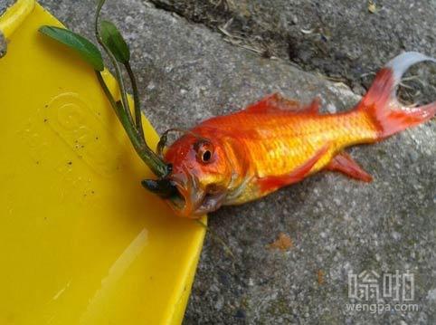 这条金鱼上颚长草了