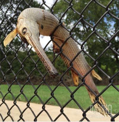 洪水过后的雀鳝