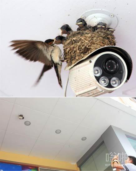 最安全燕子窝:燕子商场摄像头上安家生子筑窝