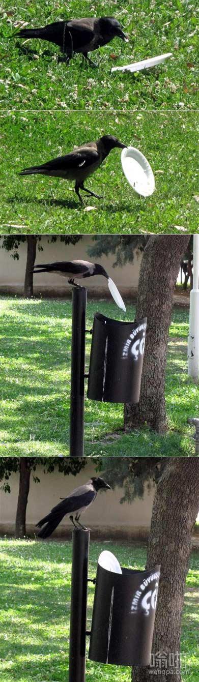 环保鸟:乌鸦会扔垃圾到垃圾桶 这肯定不是中国乌鸦