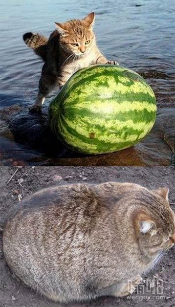 【猫搞笑图片】猫吃西瓜后