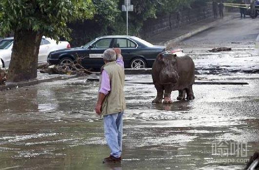 洪水把河马从动物园冲出来了