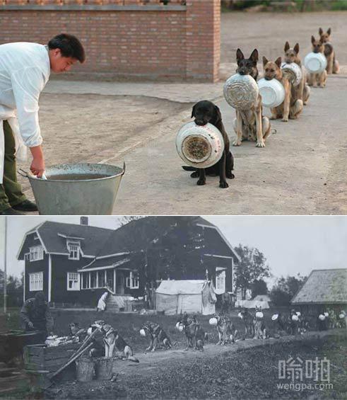 警犬排队吃饭 其实早在70年前就有警犬排队吃饭了