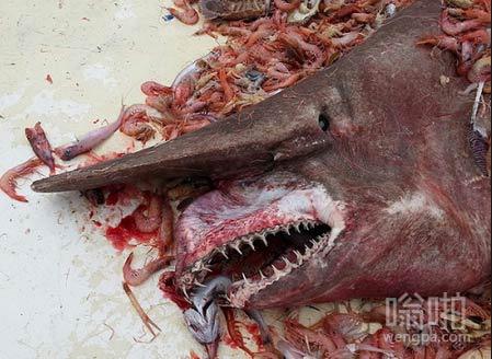 佛罗里达州捕虾渔民捕获妖鲨