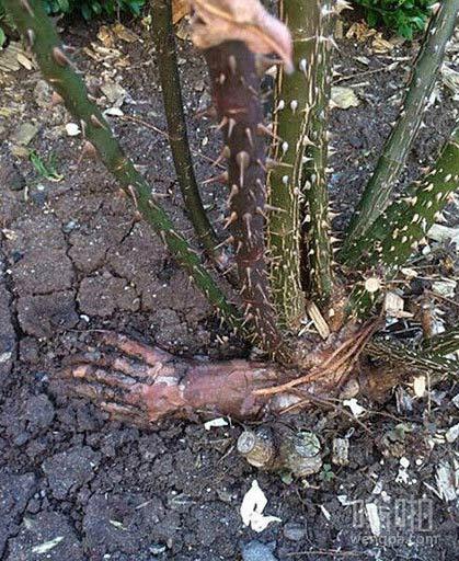 植物的根像一只手 吓死人了
