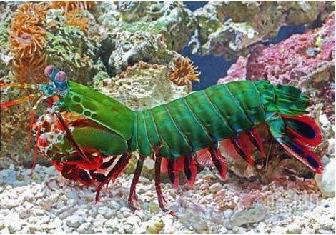 世界上最漂亮的皮皮虾