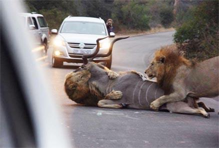 接近自然 雄狮在公路猎杀公羊