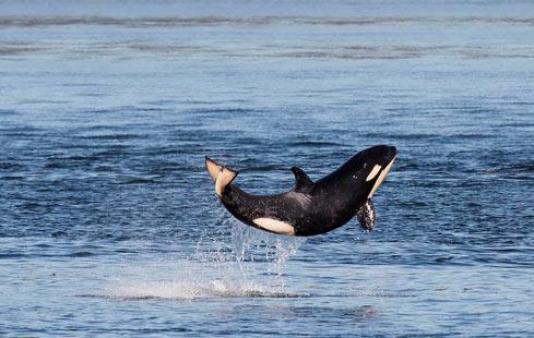 一个非常快乐的逆戟鲸宝宝跃出海面