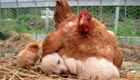 母鸡妈妈爱她领养的娃娃