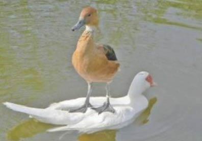 鸭子欺负白鹅