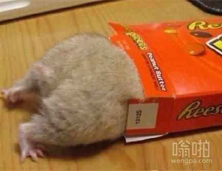 仓鼠虽小,屁股却是肥肥哒