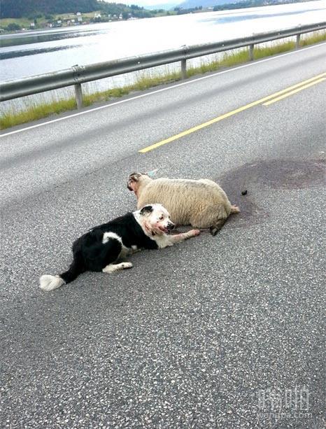 羊遭遇意外车祸,牧羊犬封锁道路