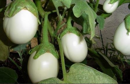 这就是为什么它被称为茄子