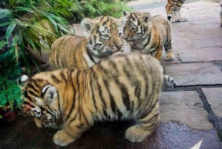 胖乎乎的小幼虎