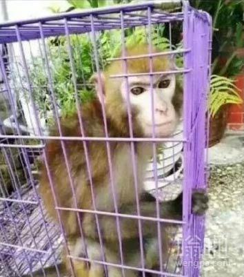 大圣归来:帅气的猴子被抓爆照 网友被折服 真的很帅