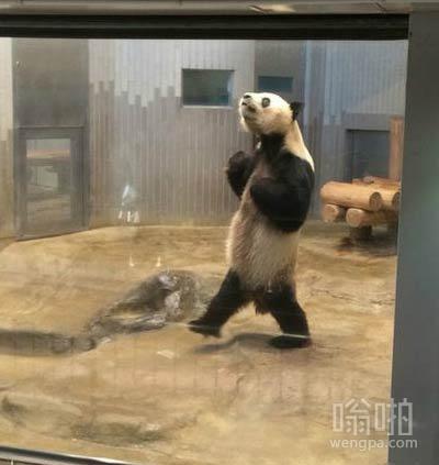 大熊猫跳广场舞