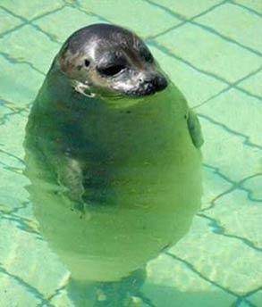 海豹_胖子_搞笑动物图片