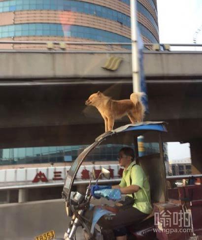 济南街头狗狗站在三轮车顶上,像风一样的男子