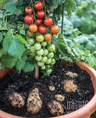 这样种土豆西红柿 据说收成很好