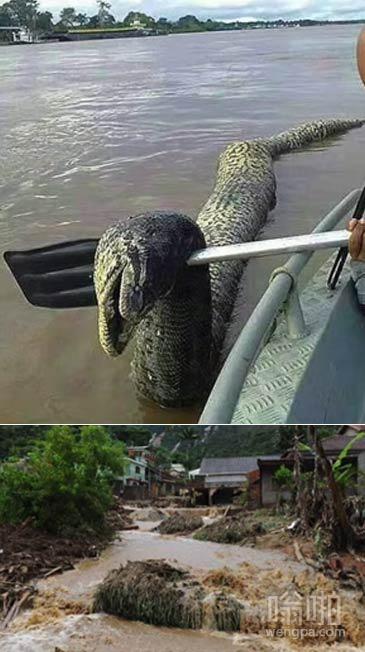 洪水冲出来的巨型蟒蛇 还有更大的吗