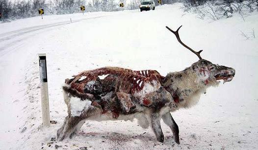 被冷冻的鹿,身体部分被吃掉