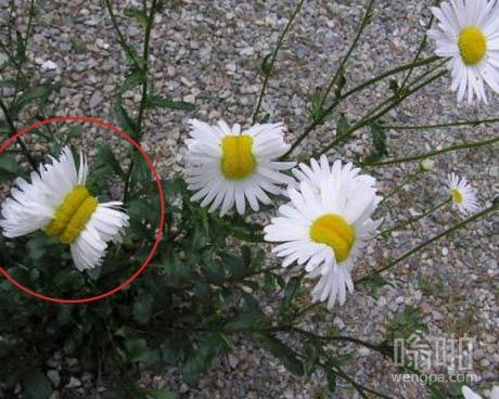 变异雏菊来自日本福岛核电站