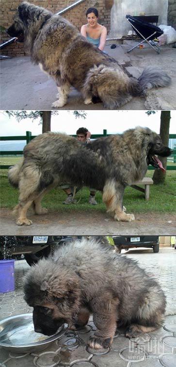 高加索犬 知道哪有卖的的么