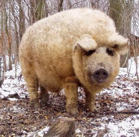 时髦的猪:玛格利特斯塔(mangalitsa)猪。一个罕见的品种,羊毛般的头发,类似于羊
