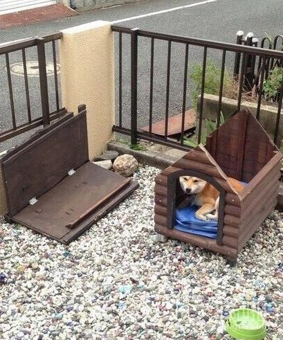 日本九州昨天被台风吹袭,一只无辜的柴犬受到台风的影响,他的家的屋顶被强风吹翻,但阿柴依旧坚持留在家里。
