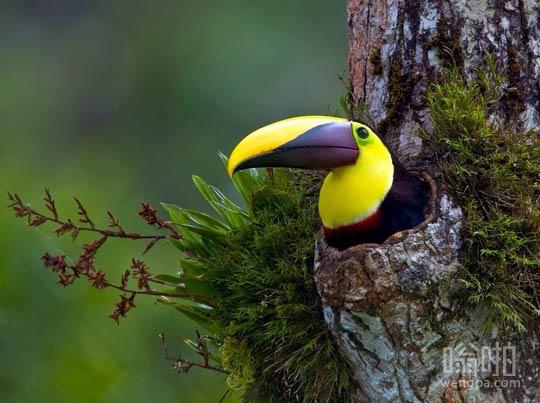 巨嘴鸟量身定制的窝