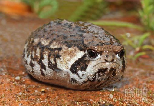 鼓气青蛙石头