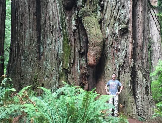 巨大的红木