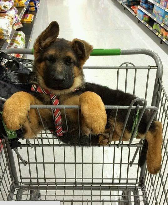 小狗逛超市在购物篮里边睡着了