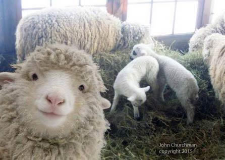 抢镜的可爱小羊