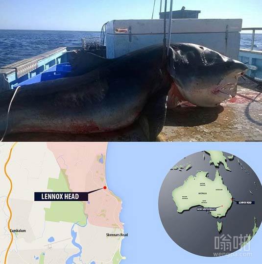 7米虎鲨在澳大利亚东部沿海被捕获
