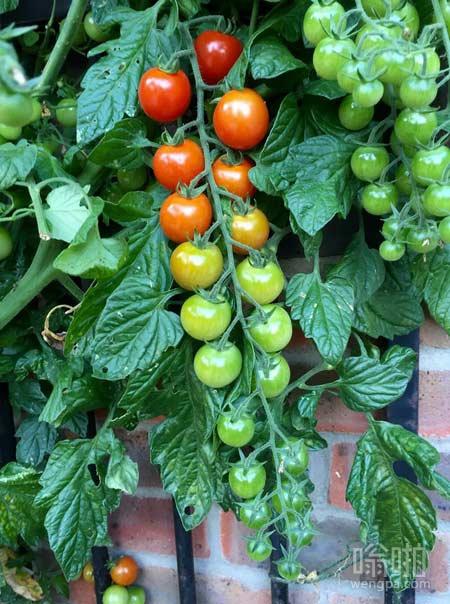 番茄成熟度的图表