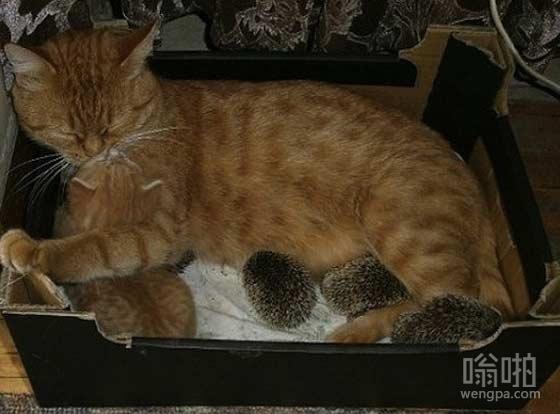 这猫和它的刺猬伙计们相处的很好