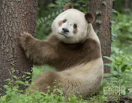 掉色的大熊猫 不过显得更可爱了