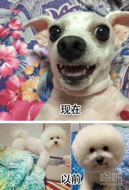 不要随便给你家的狗剃毛
