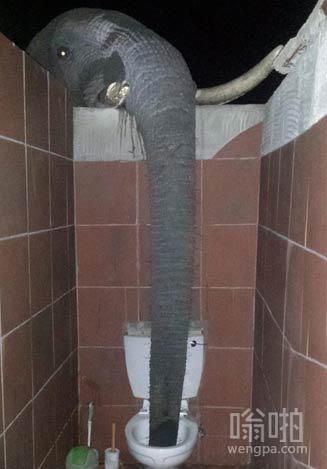 上厕所被大象伸进来的长鼻子吓尿了 以为一条大蟒蛇