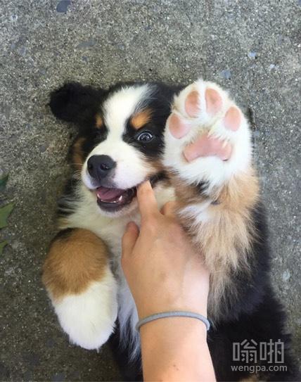 这狗爪子和脸一样大