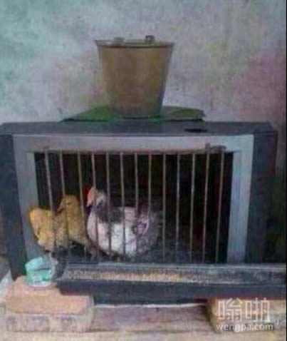 电视机里边养鸡 这是要看3d的节奏么