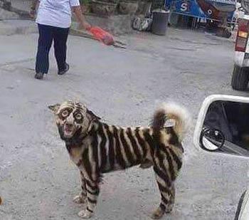 狗狗被涂成斑马 二汪此刻内心是崩溃的-嗡啪狗狗图片