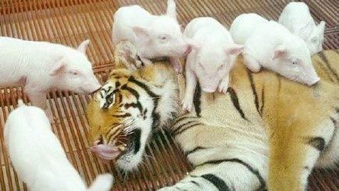 一群小猪围住老虎妈妈