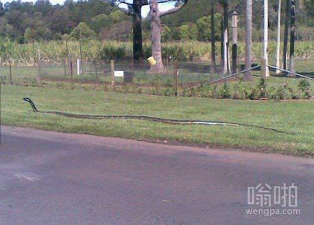 南非黑曼巴蛇,约6米,45岁,毒液足以杀死400人