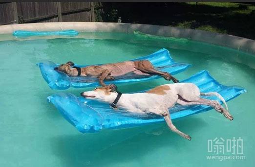 游泳池中享受日光浴的狗狗