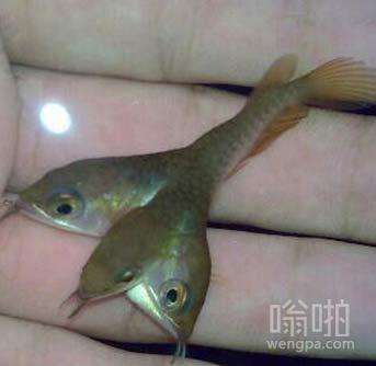 这条鱼有三个头