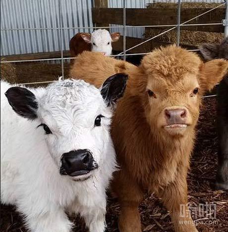 精选的小牛