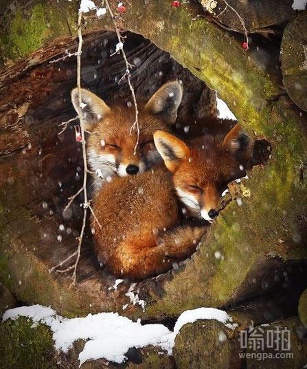 树洞中的狐狸