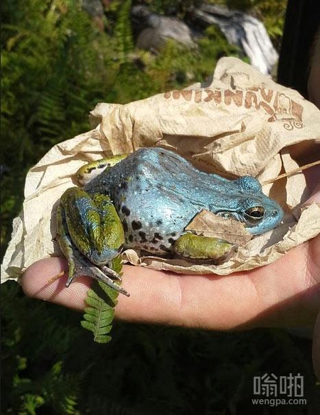 发现一个漂亮的蓝色牛蛙